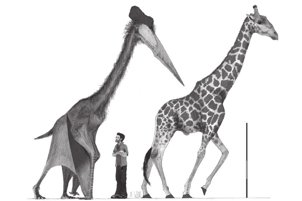 Le Cryodrakon boreas comparé à une girafe et un homme. Source : https://www.researchgate.net/publication/279618696_A_new_approach_to_determining_pterosaur_body_mass_and_its_implications_for_pterosaur_flight, Mark Paul Witton