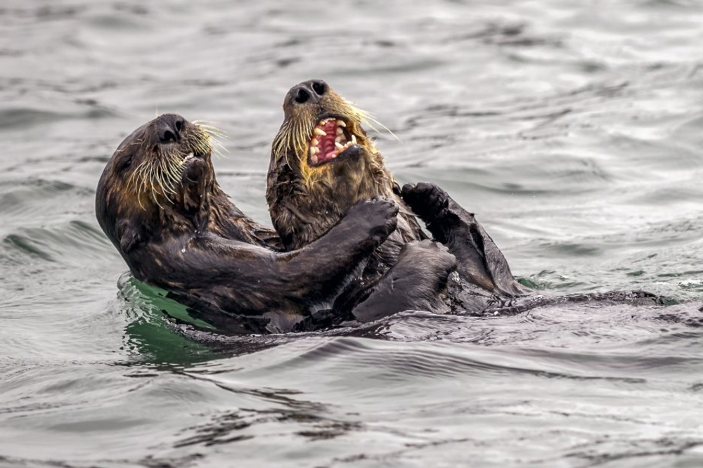 Sea Otter tickle fight, Andy Harris, Comedy Wildlife Photo Awards 2019