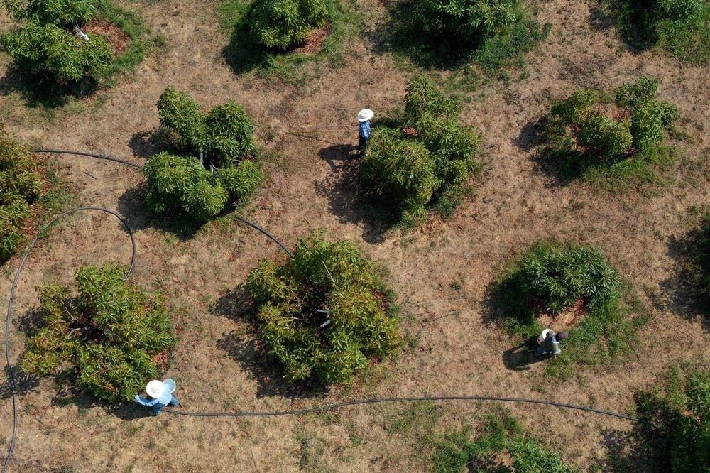 Plantations d'avocats à Tochimilco, au Mexique, AFP