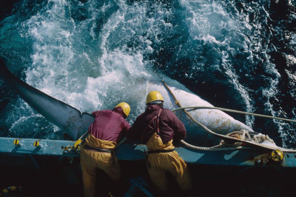 Japanse vissers brengen een gewonde walvis aan boord., Getty
