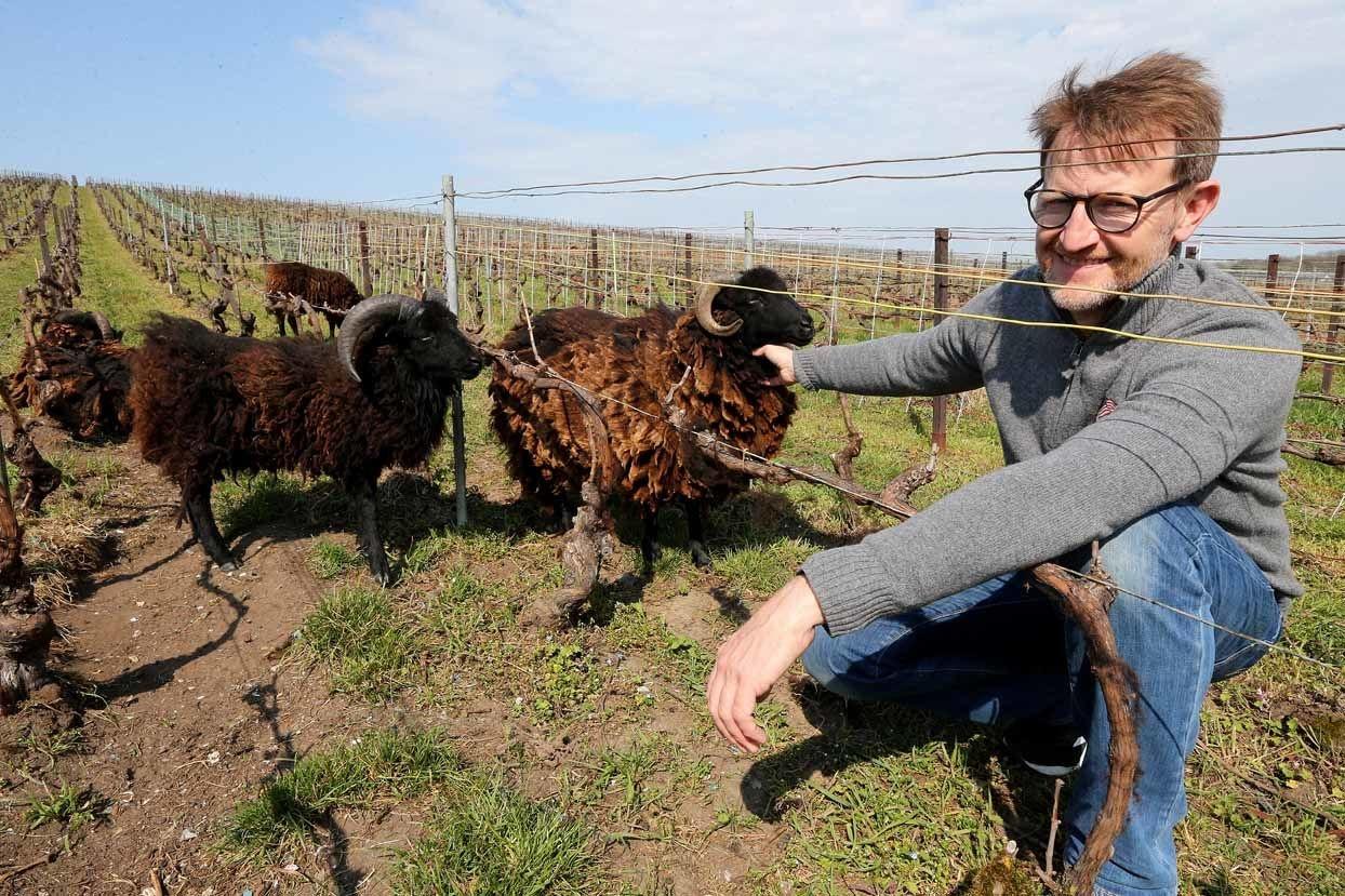 Richard Desvigne parmi les moutons, AFP