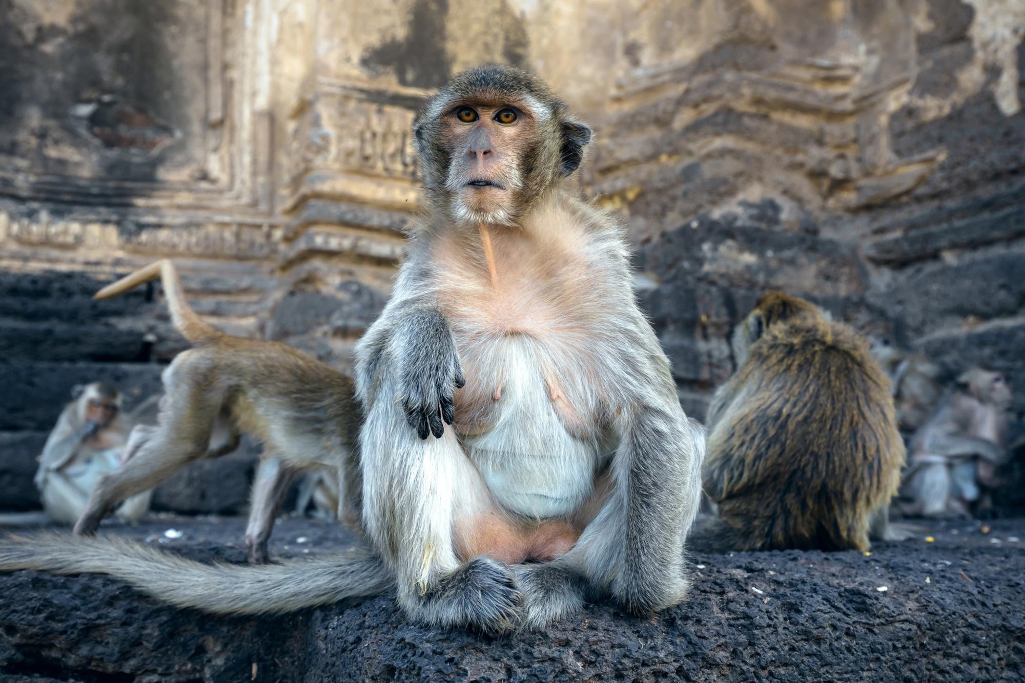 Macaque de Lopburi, Getty Images