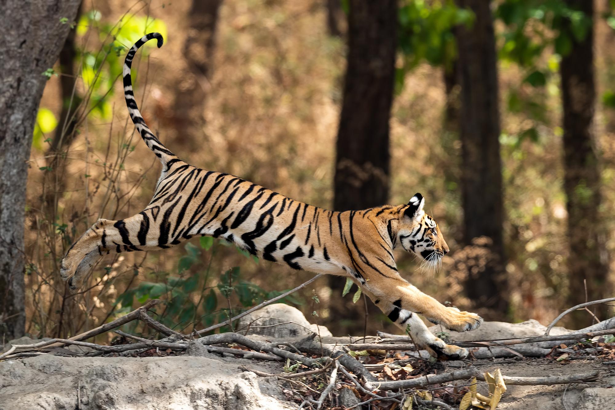 Iedere tijger heeft unieke strepen., Getty