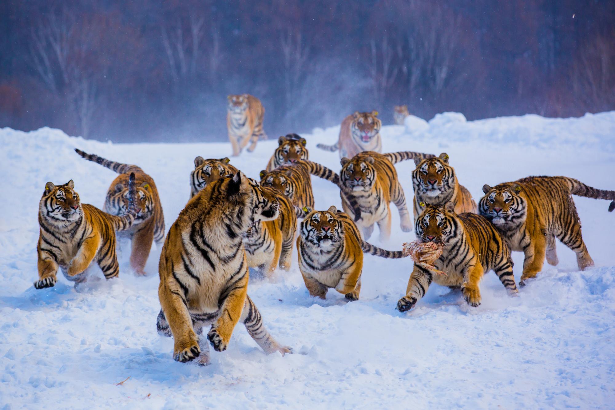 Tijgers in het noordoosten van China vechten om hun eten., Getty