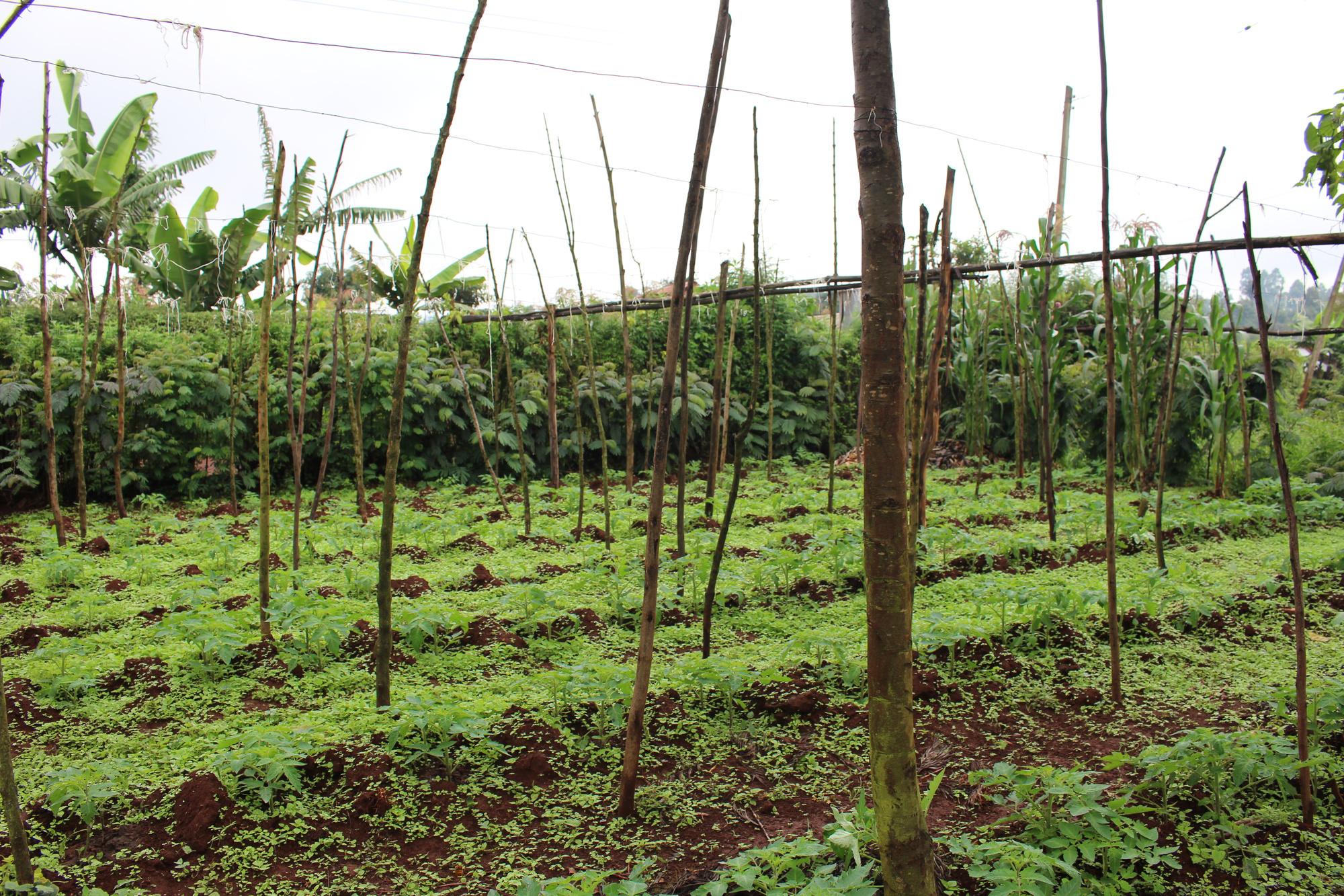 Een bos in wording, een van de projecten van Trees for the Future., Trees for the Future