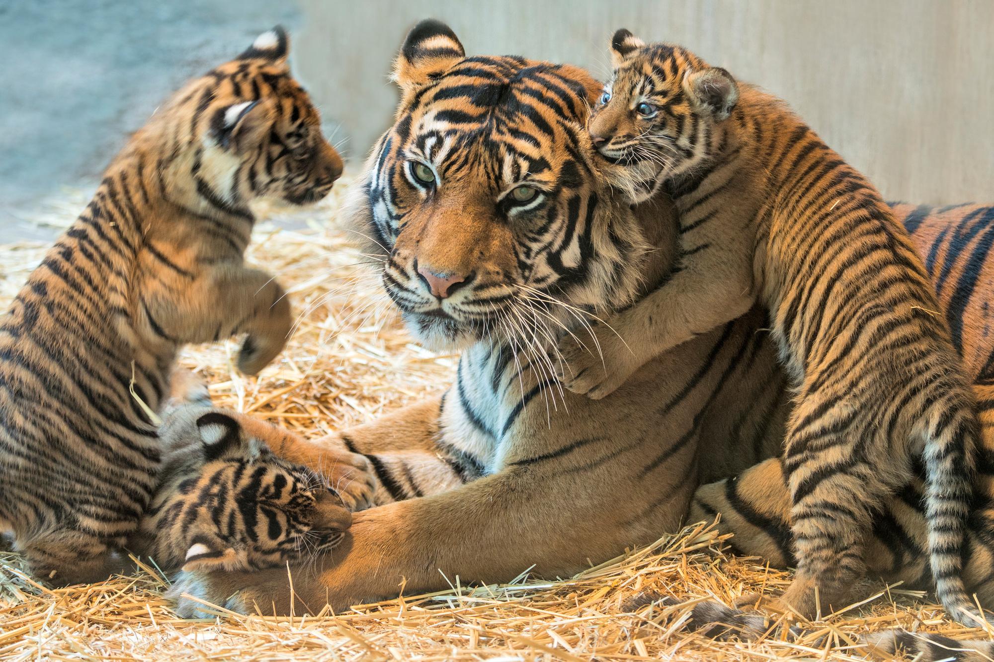 Sumatraanse tijger met haar welpjes., Getty