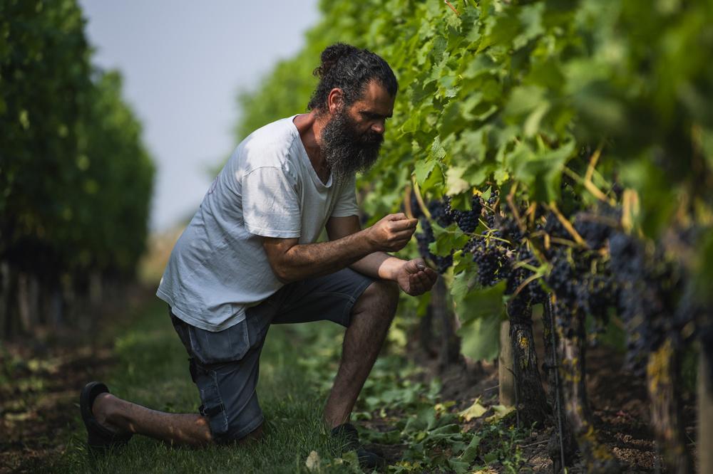 Murre Sofrakis arpente les vignes. Dans la province de Scanie en Suède méridionale, ce gaillard à la barbe noire et au visage buriné possède un vignoble de quelque deux hectares. Il est l'un des plus grands producteurs de vin du pays., AFP