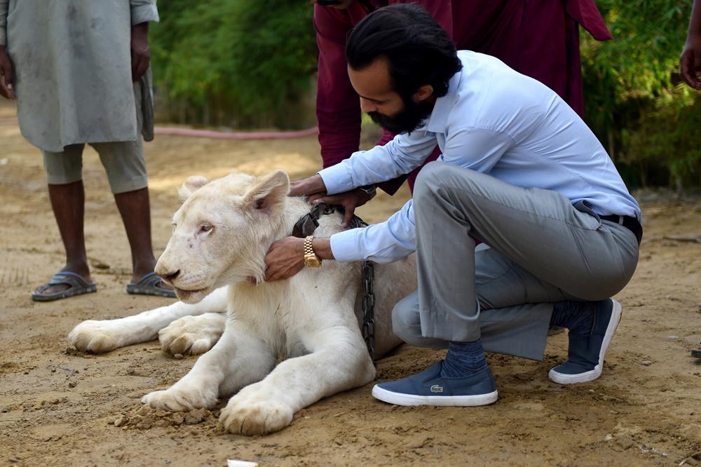 Lion pakistan, AFP