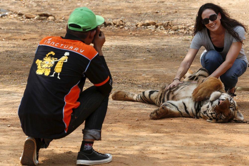 Les touristes, toujours clients pour prodiguer une petite caresse aux célèbres tigres , Reuters