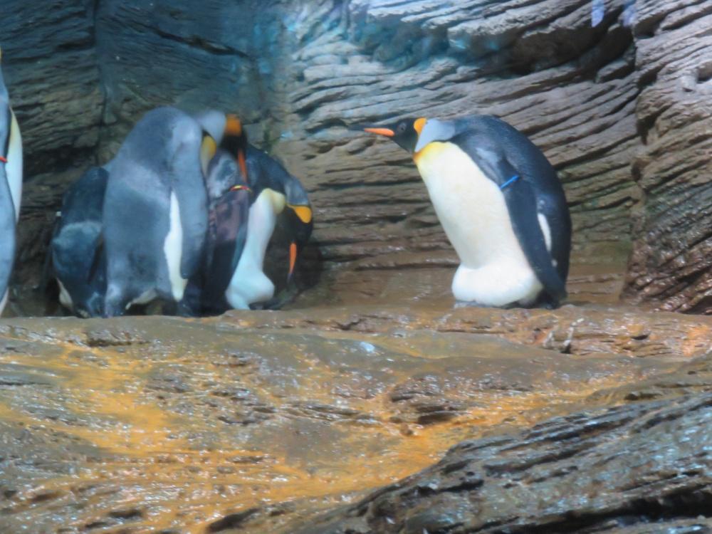 Koningspinguïn, Zoo Antwerpen