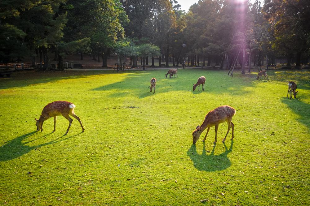 Les daims du parc de Nara au Japon, Getty Images