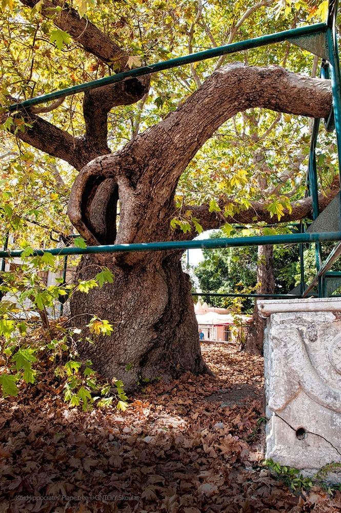 L'arbre d'Hippocrate... selon la légende., SDP