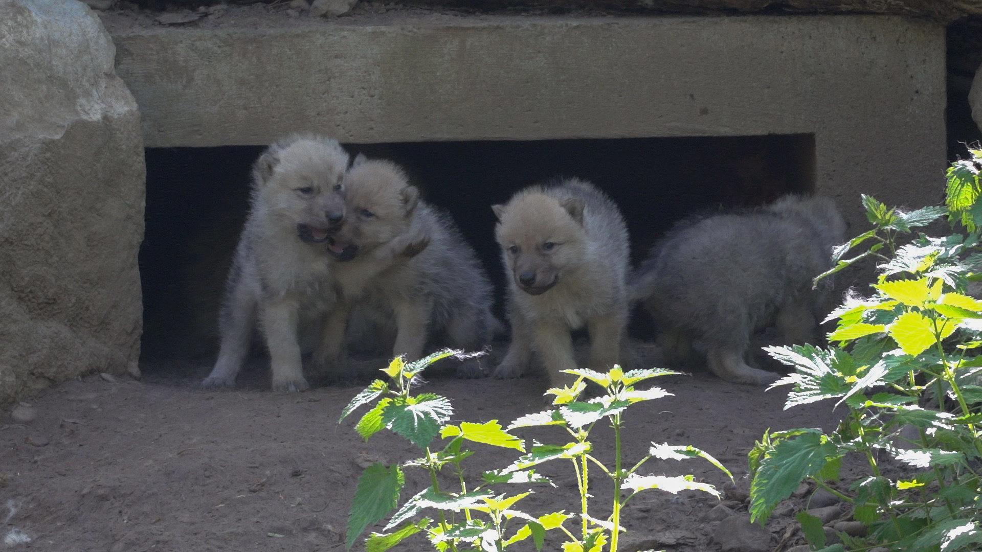 Poolwolfjes, Domein van Han