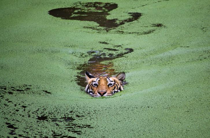 Tijger zwemt tussen het zeewier in Odisha, India., Getty